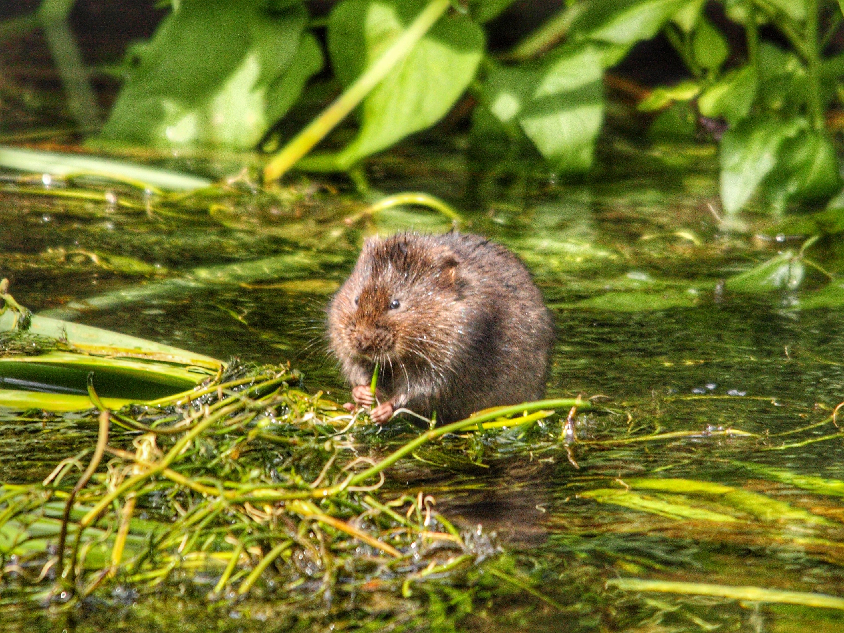 Flying Water Vole